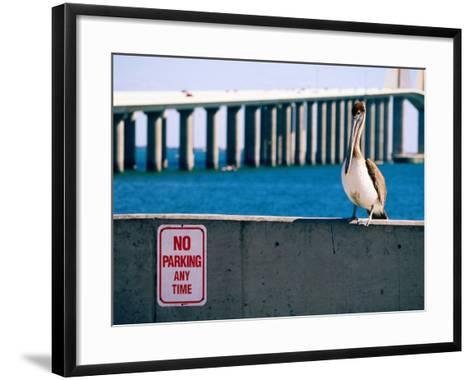Brown Pelican in Front of Sunshine Skyway Bridge, Tampa Bay, Tampa, Florida-David Tomlinson-Framed Art Print