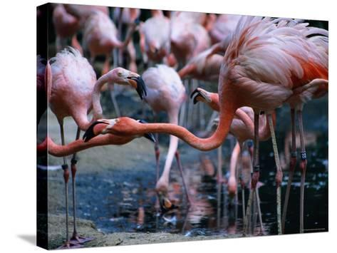 Greater Flamingo at the Singapore Zoological Gardens, Singapore-Glenn Beanland-Stretched Canvas Print