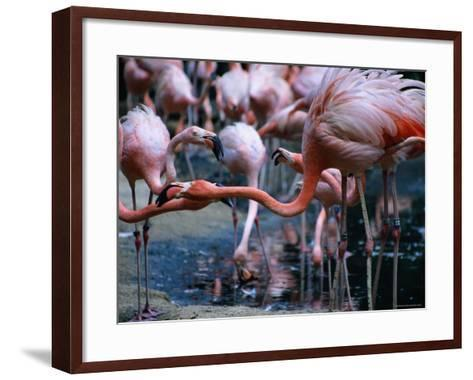 Greater Flamingo at the Singapore Zoological Gardens, Singapore-Glenn Beanland-Framed Art Print