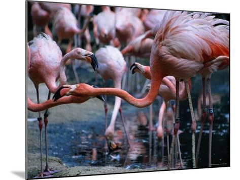 Greater Flamingo at the Singapore Zoological Gardens, Singapore-Glenn Beanland-Mounted Photographic Print