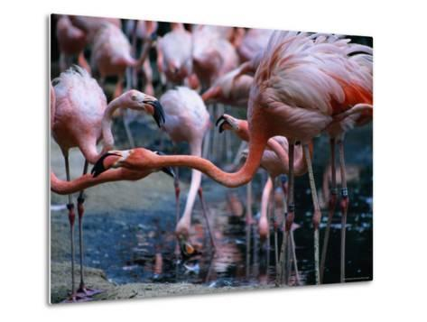 Greater Flamingo at the Singapore Zoological Gardens, Singapore-Glenn Beanland-Metal Print