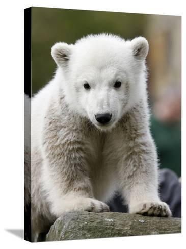 Sick Polar Bear Cub, Berlin, Germany-Michael Sohn-Stretched Canvas Print