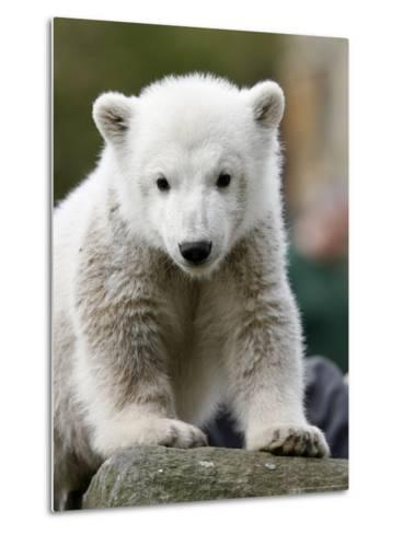 Sick Polar Bear Cub, Berlin, Germany-Michael Sohn-Metal Print