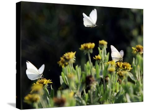 Butterflies Land on Wild Flowers at Boca Chica, Texas-Eric Gay-Stretched Canvas Print