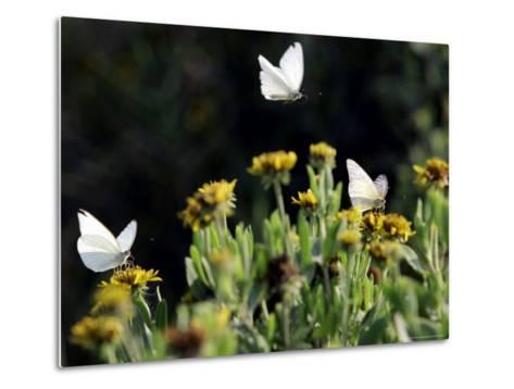 Butterflies Land on Wild Flowers at Boca Chica, Texas-Eric Gay-Metal Print