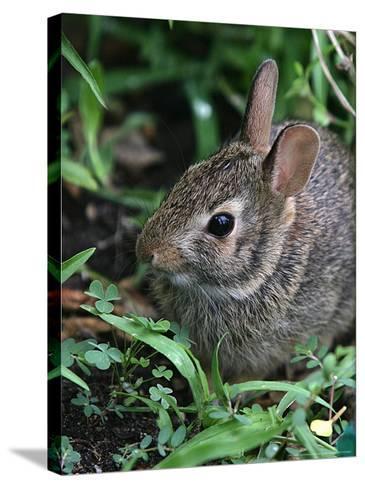 Eastern Cottontail Rabbit, Tyler, Texas-Dr. Scott M. Lieberman-Stretched Canvas Print