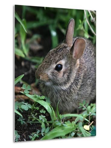 Eastern Cottontail Rabbit, Tyler, Texas-Dr. Scott M. Lieberman-Metal Print