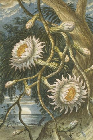 Night-Flowering Cactus, c.1874--Stretched Canvas Print