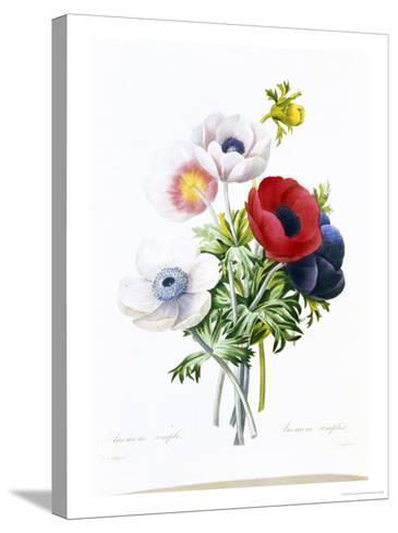 Anemone Simplex-Pierre-Joseph Redout?-Stretched Canvas Print