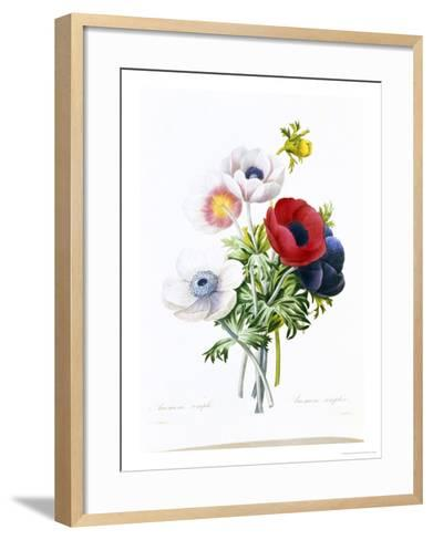 Anemone Simplex-Pierre-Joseph Redout?-Framed Art Print