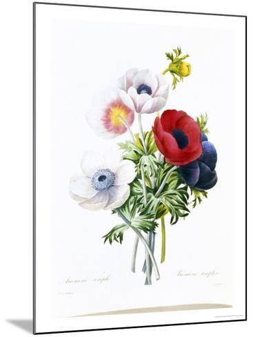 Anemone Simplex-Pierre-Joseph Redout?-Mounted Giclee Print