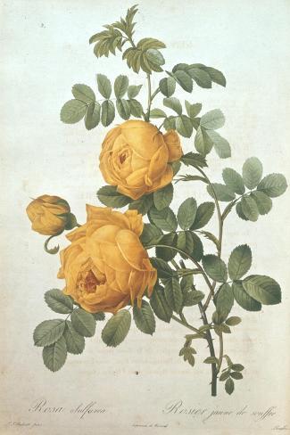 Rosa Sulfurea-Pierre-Joseph Redout?-Stretched Canvas Print
