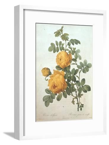 Rosa Sulfurea-Pierre-Joseph Redout?-Framed Art Print