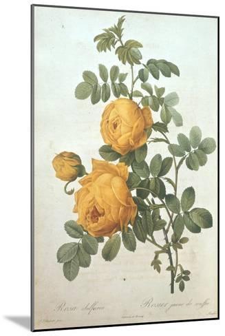 Rosa Sulfurea-Pierre-Joseph Redout?-Mounted Giclee Print