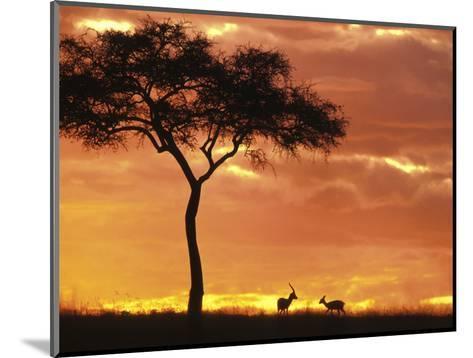 Gazelle Grazing Under Acacia Tree at Sunset, Maasai Mara, Kenya-John & Lisa Merrill-Mounted Photographic Print
