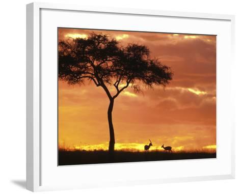 Gazelle Grazing Under Acacia Tree at Sunset, Maasai Mara, Kenya-John & Lisa Merrill-Framed Art Print