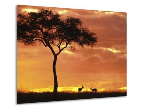 Gazelle Grazing Under Acacia Tree at Sunset, Maasai Mara, Kenya-John & Lisa Merrill-Metal Print