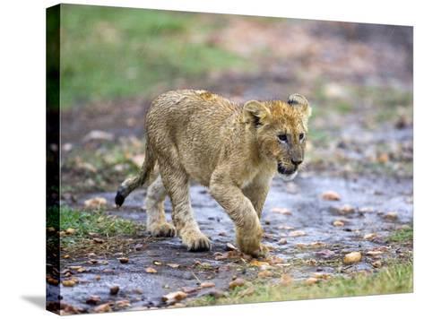 Lion Cub Walking in the Bush, Maasai Mara, Kenya-Joe Restuccia III-Stretched Canvas Print