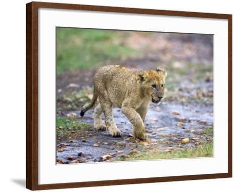 Lion Cub Walking in the Bush, Maasai Mara, Kenya-Joe Restuccia III-Framed Art Print