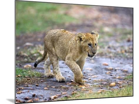 Lion Cub Walking in the Bush, Maasai Mara, Kenya-Joe Restuccia III-Mounted Photographic Print