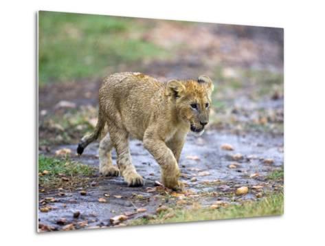 Lion Cub Walking in the Bush, Maasai Mara, Kenya-Joe Restuccia III-Metal Print