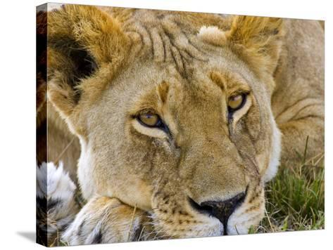 Male Lion in the Late Afternoon, Maasai Mara, Kenya-Joe Restuccia III-Stretched Canvas Print