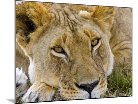 Male Lion in the Late Afternoon, Maasai Mara, Kenya-Joe Restuccia III-Mounted Photographic Print