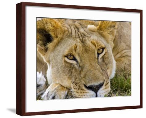 Male Lion in the Late Afternoon, Maasai Mara, Kenya-Joe Restuccia III-Framed Art Print