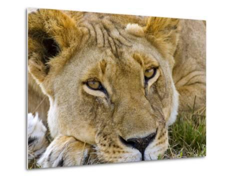 Male Lion in the Late Afternoon, Maasai Mara, Kenya-Joe Restuccia III-Metal Print