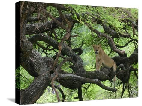 African Lioness Rests on Tree Branch, Tanzania-Arthur Morris-Stretched Canvas Print