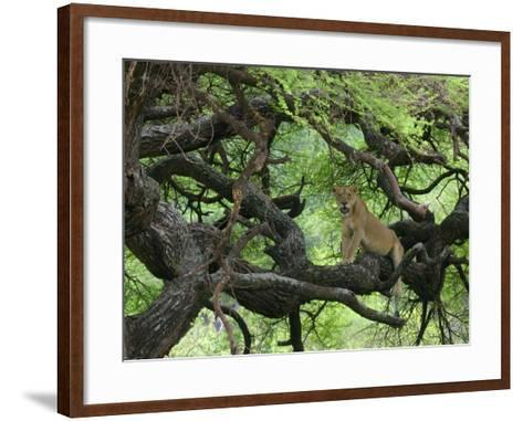 African Lioness Rests on Tree Branch, Tanzania-Arthur Morris-Framed Art Print