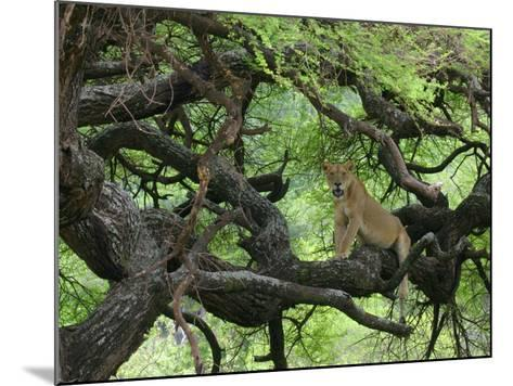 African Lioness Rests on Tree Branch, Tanzania-Arthur Morris-Mounted Photographic Print