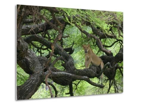 African Lioness Rests on Tree Branch, Tanzania-Arthur Morris-Metal Print