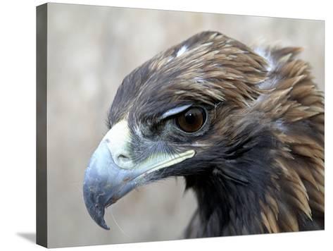 Female Golden Eagle, Golden Eagle Festival, Mongolia-Amos Nachoum-Stretched Canvas Print