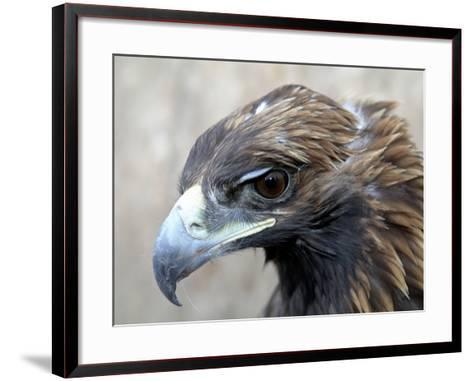 Female Golden Eagle, Golden Eagle Festival, Mongolia-Amos Nachoum-Framed Art Print