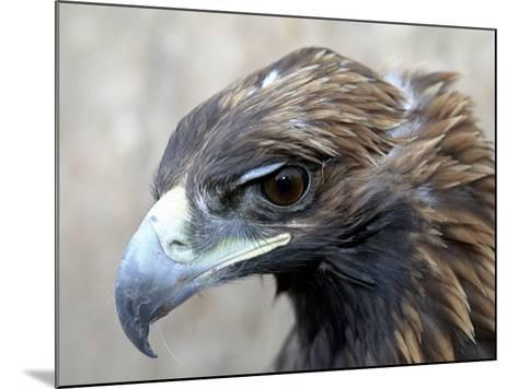 Female Golden Eagle, Golden Eagle Festival, Mongolia-Amos Nachoum-Mounted Photographic Print