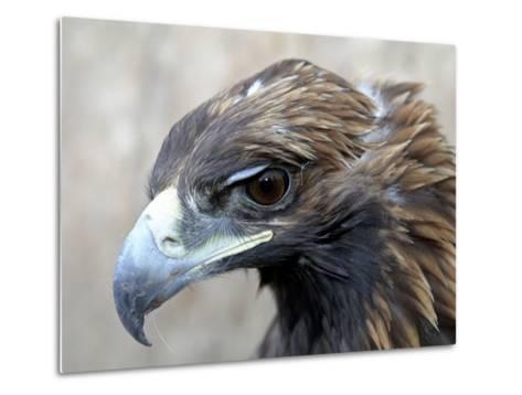 Female Golden Eagle, Golden Eagle Festival, Mongolia-Amos Nachoum-Metal Print