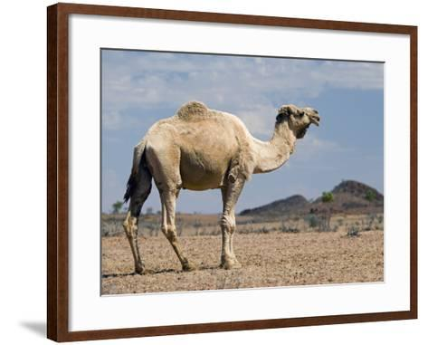Camel Near Stuart Highway, Outback, Northern Territory, Australia-David Wall-Framed Art Print