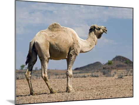 Camel Near Stuart Highway, Outback, Northern Territory, Australia-David Wall-Mounted Photographic Print