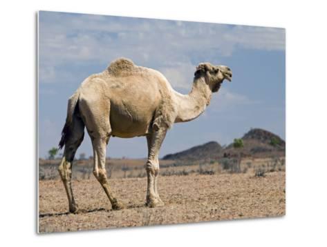 Camel Near Stuart Highway, Outback, Northern Territory, Australia-David Wall-Metal Print