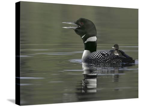 Common Loon Calling with Chick Riding on Back in Water, Kamloops, British Columbia, Canada-Arthur Morris-Stretched Canvas Print