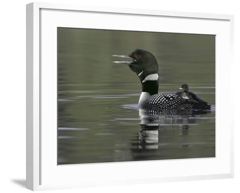 Common Loon Calling with Chick Riding on Back in Water, Kamloops, British Columbia, Canada-Arthur Morris-Framed Art Print