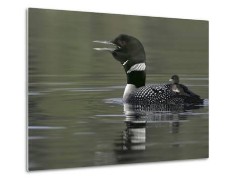 Common Loon Calling with Chick Riding on Back in Water, Kamloops, British Columbia, Canada-Arthur Morris-Metal Print