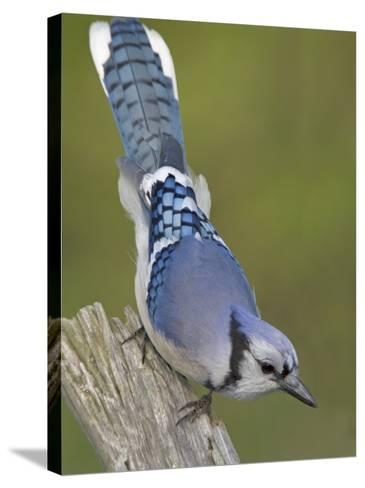 Close-up of Blue Jay on Dead Tree Limb, Rondeau Provincial Park, Ontario, Canada-Arthur Morris-Stretched Canvas Print