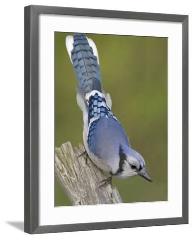 Close-up of Blue Jay on Dead Tree Limb, Rondeau Provincial Park, Ontario, Canada-Arthur Morris-Framed Art Print
