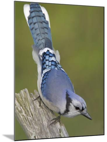 Close-up of Blue Jay on Dead Tree Limb, Rondeau Provincial Park, Ontario, Canada-Arthur Morris-Mounted Photographic Print