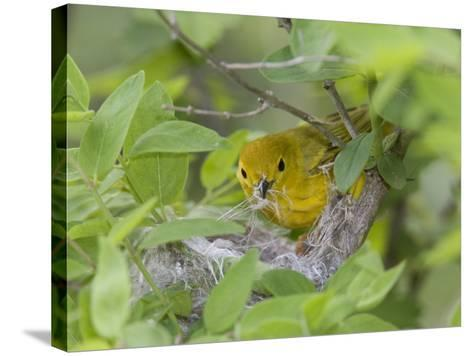 Yellow Warbler Male Building Nest,  Pt. Pelee National Park, Ontario, Canada-Arthur Morris-Stretched Canvas Print