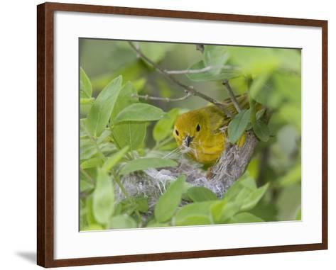 Yellow Warbler Male Building Nest,  Pt. Pelee National Park, Ontario, Canada-Arthur Morris-Framed Art Print
