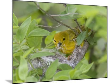 Yellow Warbler Male Building Nest,  Pt. Pelee National Park, Ontario, Canada-Arthur Morris-Mounted Photographic Print