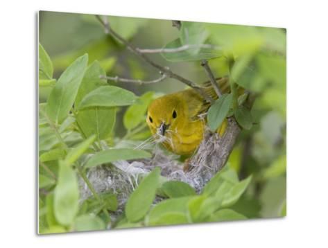 Yellow Warbler Male Building Nest,  Pt. Pelee National Park, Ontario, Canada-Arthur Morris-Metal Print